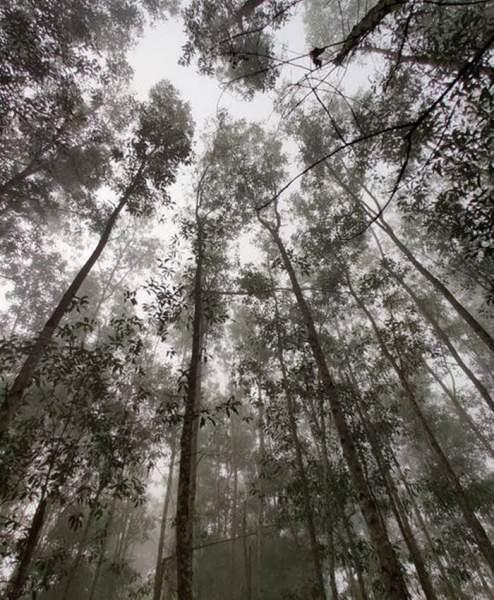 Eukalyptus-b-ume
