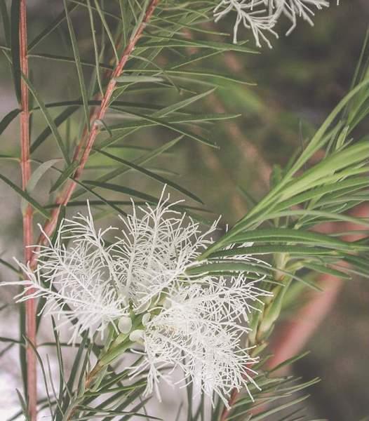 teebaum