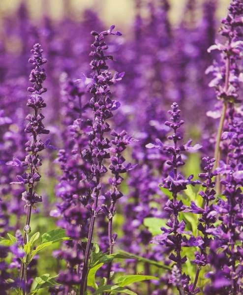 Lavendelsalbei